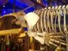 walvis in natuurhistorisch museum