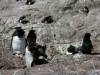 dieren in argentinie Rock hopper penguins