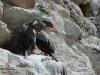 dieren in argentinie grijze aalscholvers