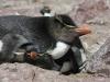 dieren in argentinie macaroni pinguin