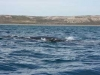 dieren in argentinie walvis met jong