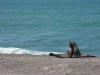 dieren in argentinie zeeleeuw
